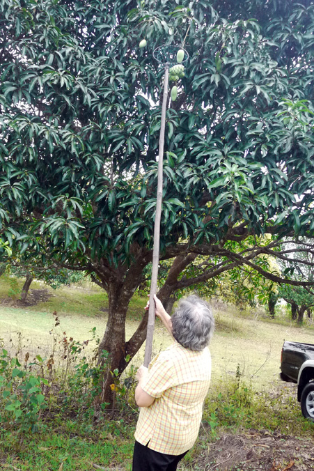 That's my mother-in-law helping out and getting a nice arm workout. She has roughly a kilo of mangoes at the end of the long and heavy bamboo pole!